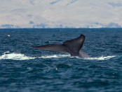 800px-Blue_whale_tail