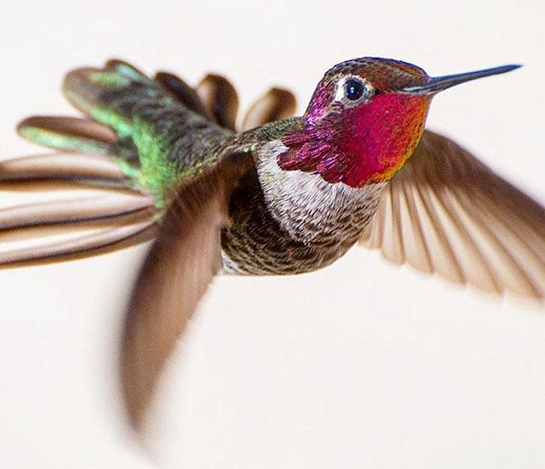 hummingbird-photography-tracy-johnson-california-36