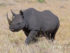 black-rhino-on-the-masai-mara-sandra-bronstein