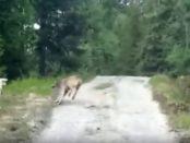 lup atacat de o oaie