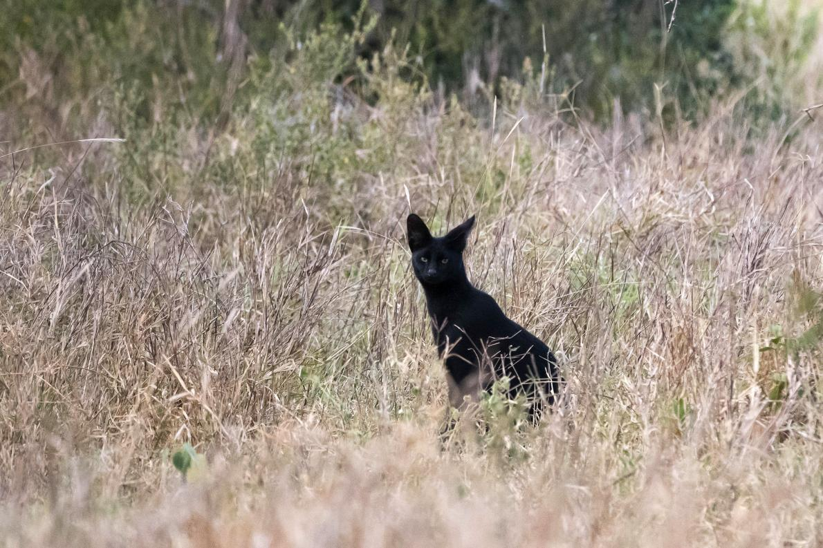 01_serval_sighting.ngsversion.1490278716303.adapt.1190.1