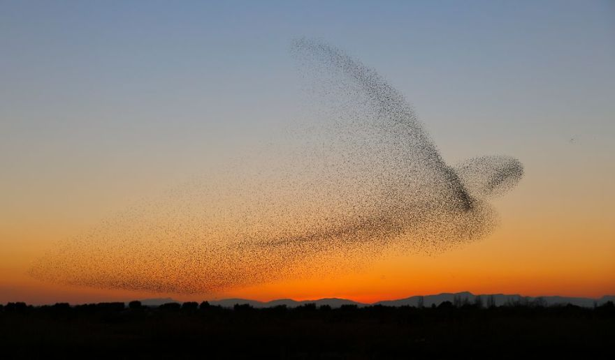 giant-bird-marmuration-starlings-daniel-biber-photography-10-5a4c8a0735319__880