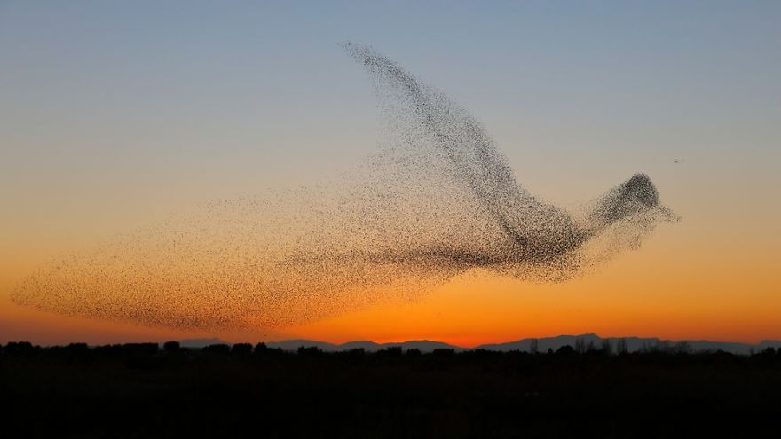 giant-bird-marmuration-starlings-daniel-biber-photography-7-5a4c8a0394e3e__880