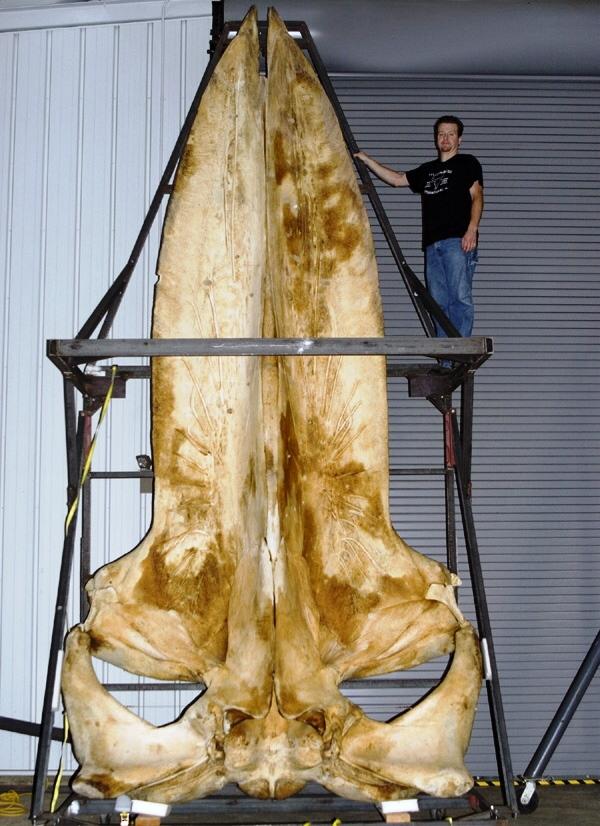Craniul unei balene albastre