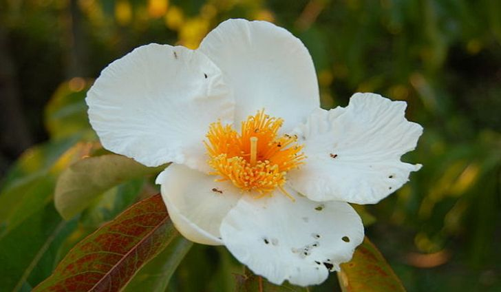 640px-franklin-tree-franklinia-alatamaha-flower-3008px